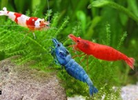 Freshwater-Aquarium-Shrimp